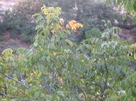 walnut - 1st leaves go yellow