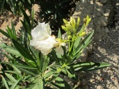 white-oleanders-flowering-again
