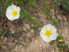 white-rock-rose