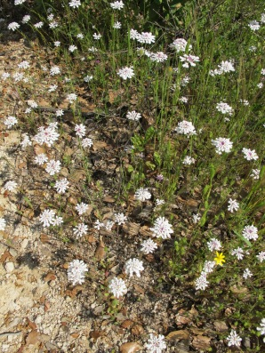 white-wildflowers-in-may
