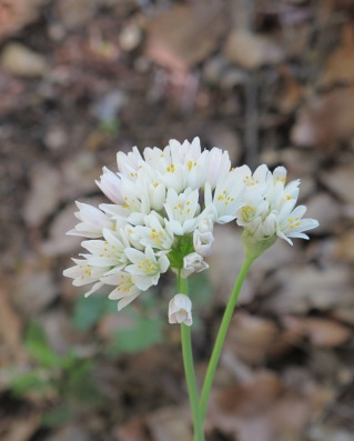 wildflower-white-in-april2