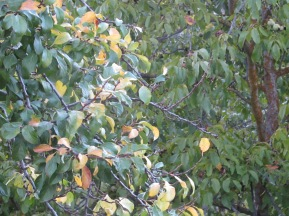 yellow leaves on the plum 12-10-14
