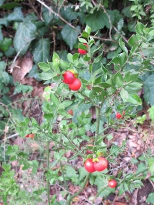 red-berries1