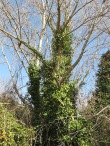 tree-covered-with-ivy4-11-2-15