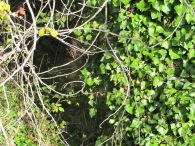 tree-covered-with-ivy7-11-2-15