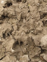 wild-boar-hoofprints-in-mud-on-thyme-track