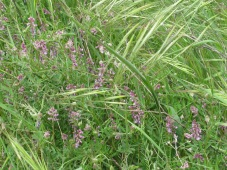 wildflowers-arabian-pea