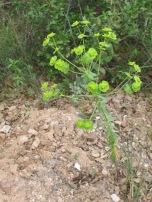 wildflowers-cypress-spurge