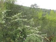 wildflowers-white-hawthorn