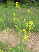 wildflowers-yellow-charlock