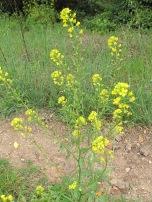 wildflowers-yellow-charlock