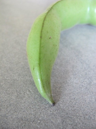broad bean - close-up of pod1