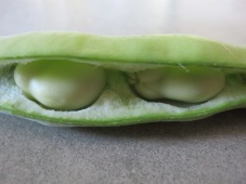 broad bean - close-up of pod2