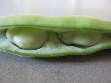 broad bean - close-up of pod2