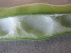 broad bean - close-up of pod3