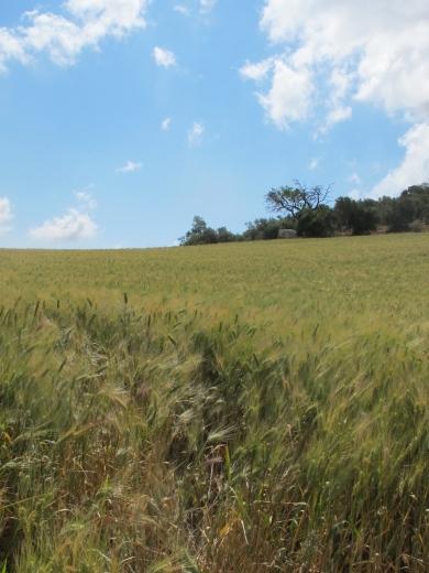 field of green wheat1