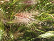 wheat, close-up