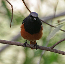 Black Redstart - Male