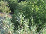 canas before the walnut tree
