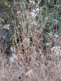 dried golden weeds
