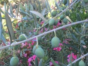 olives on the tree1