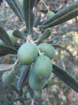 olives on the tree2