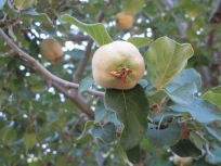 quince, on the tree