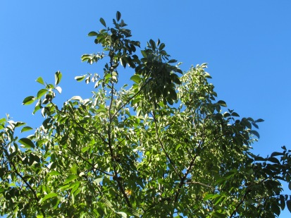 walnut tree1