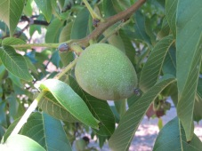 walnuts, still green1