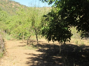 almond trees - not just veggies in the huerta