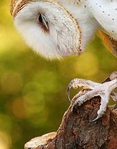 bc30500cb Barn Owl talon – photo Wikipedia | Notes on a Spanish Valley
