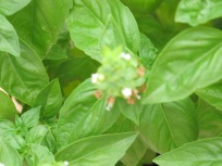 basil large-leaved - close-up