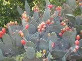 cactus, fruit