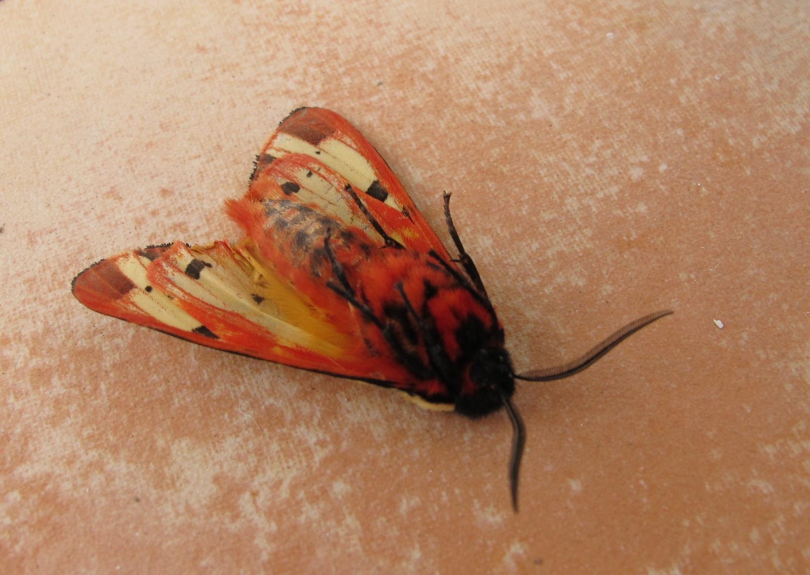 A garden tiger moth   Notes on a Spanish Valley