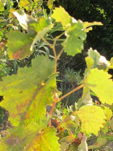 grave vines going yellow1