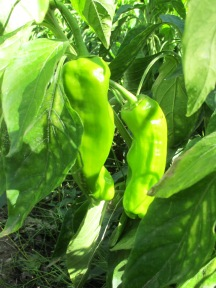 green pepper2