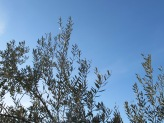 olive tree & blue sky