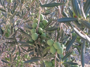 olives, on tree