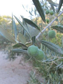 olives on tree1