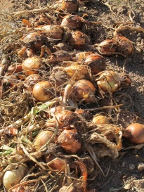 onions, drying