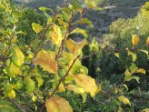 plum tree, going yellow1