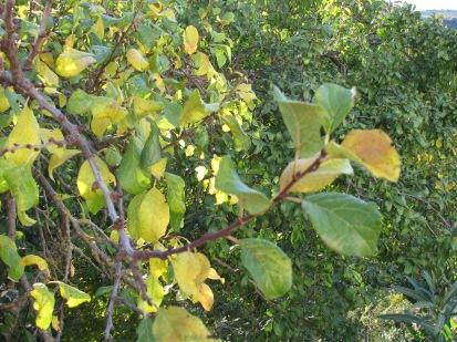 plum tree, going yellow2