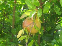 pomegranate, on tree