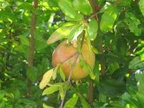 pomegranate, on tree