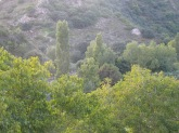 poplars2