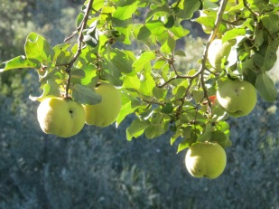 quince on the tree2