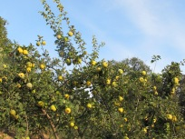 quince tree heavy with fruit