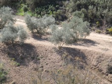 shadow on newly-ploughed olive grove