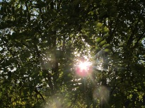 sun through the acacia2