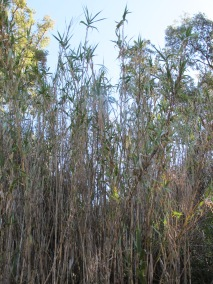 tall reeds, drying